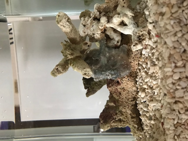 我が家のカエルアンコウ
