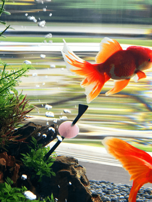 金魚 和蘭獅子頭