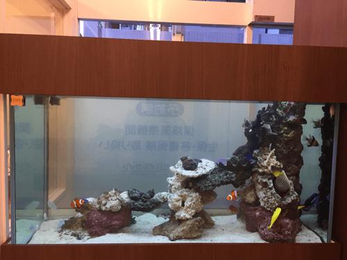 タテジマキンチャクダイの成長が非常に楽しみなオーダーメイド水槽