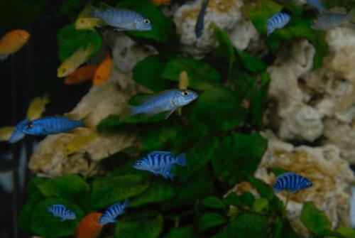 アフリカの湖に住む原色鮮やかな魚、アフリカンシクリッド